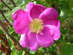 Rosa-Wildrose in Behandlungsangebot